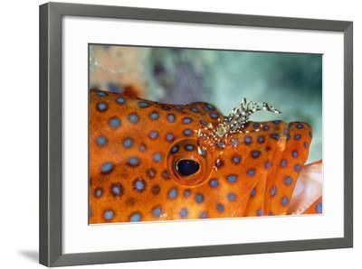 Cleaner Shrimp Cleaning Grouper--Framed Photographic Print