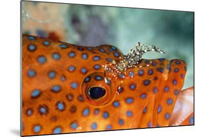 Cleaner Shrimp Cleaning Grouper--Mounted Photographic Print