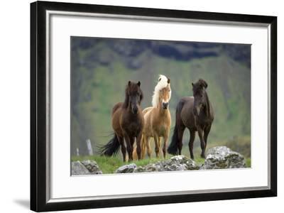Icelandic Horse Three Standing--Framed Photographic Print