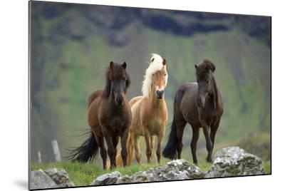 Icelandic Horse Three Standing--Mounted Photographic Print