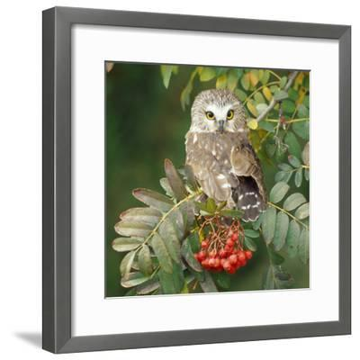 Saw-Whet Owl Perched in Rowan Tree--Framed Photographic Print