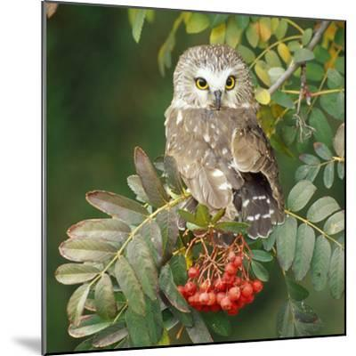 Saw-Whet Owl Perched in Rowan Tree--Mounted Photographic Print