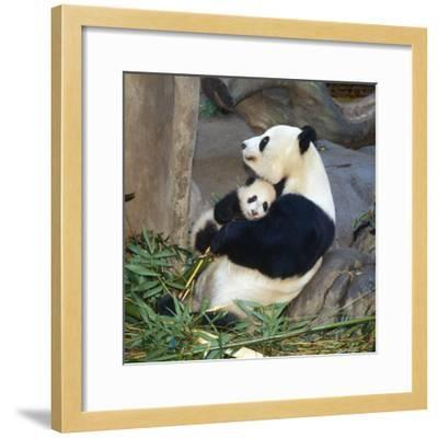 Giant Panda Female Holding Four Month Old Young--Framed Photographic Print