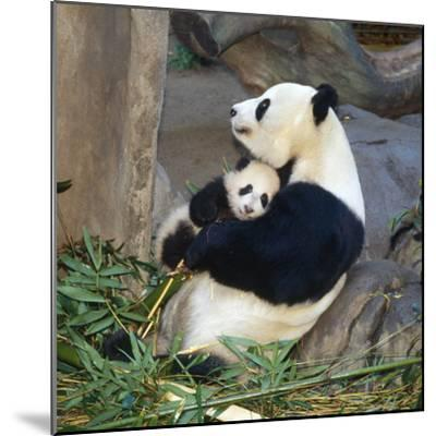 Giant Panda Female Holding Four Month Old Young--Mounted Photographic Print