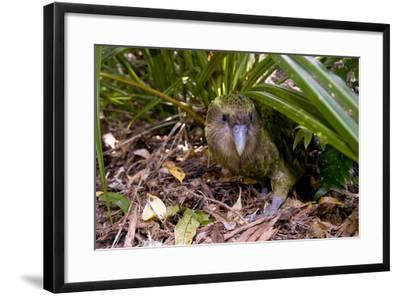Kakapo Wild Male known as Sirocco--Framed Photographic Print