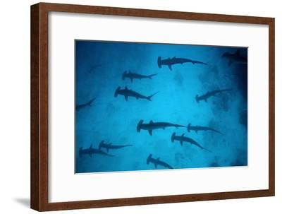 Scalloped Hammerhead Sharks These Sharks Congregate--Framed Photographic Print