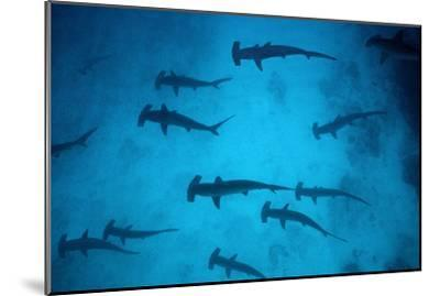 Scalloped Hammerhead Sharks These Sharks Congregate--Mounted Photographic Print