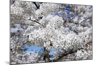 Japanese Cherry Trees in Full Spring Blossom--Mounted Photographic Print