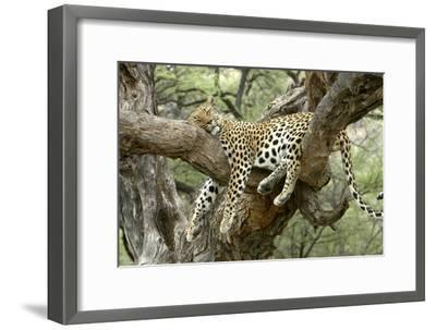Leopard Resting in Tree--Framed Photographic Print