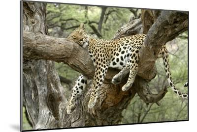 Leopard Resting in Tree--Mounted Photographic Print