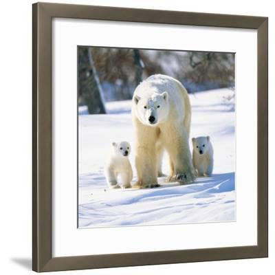 Polar Bear with Two Cubs--Framed Photographic Print