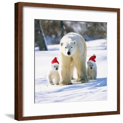 Polar Bear Parent with Cubs Wearing Christmas Hats--Framed Photographic Print