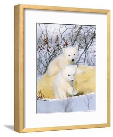 Polar Bear Cubs on Mother--Framed Photographic Print