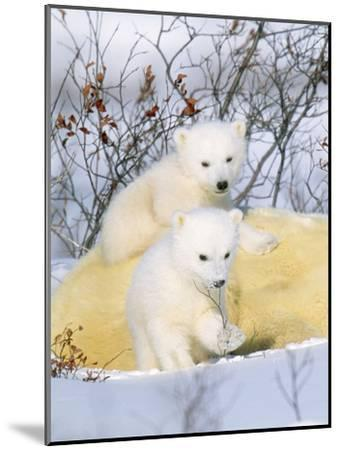 Polar Bear Cubs on Mother--Mounted Photographic Print