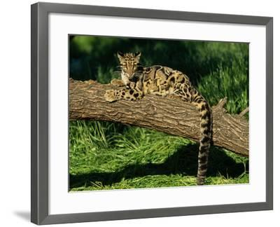 Clouded Leopard Resting on Log--Framed Photographic Print