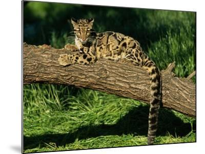 Clouded Leopard Resting on Log--Mounted Photographic Print