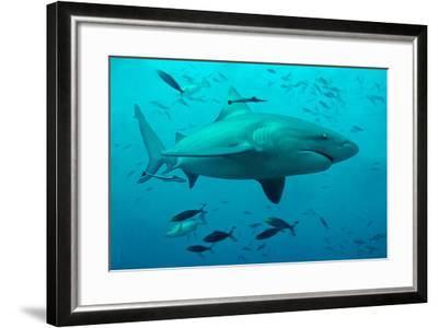 Bull Shark Female--Framed Photographic Print