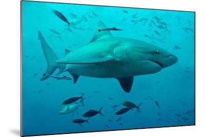 Bull Shark Female--Mounted Photographic Print