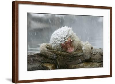 Snow Monkey in Snow Storm--Framed Photographic Print