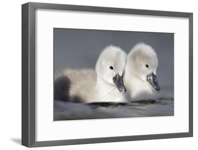 Mute Swan Two Chicks a Few Days Old--Framed Photographic Print