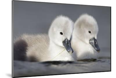 Mute Swan Two Chicks a Few Days Old--Mounted Photographic Print
