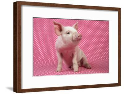 Piglet Sitting on Pink Spotty Blanket--Framed Photographic Print