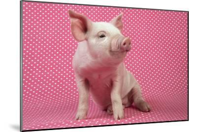 Piglet Sitting on Pink Spotty Blanket--Mounted Photographic Print