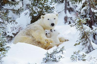 Polar Bear Huddled in Snow, with Two Cubs--Photographic Print