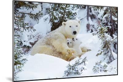 Polar Bear Huddled in Snow, with Two Cubs--Mounted Photographic Print