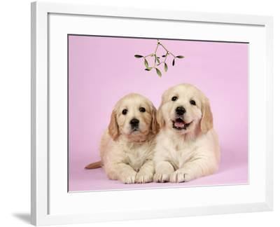 Golden Retriever Puppies (6 Weeks) Lying Down--Framed Photographic Print