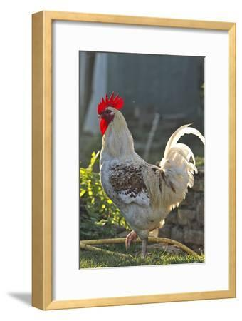 Chicken Rooster--Framed Photographic Print