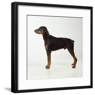 Doberman Pinscher, Standing, Side View--Framed Photographic Print