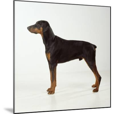 Doberman Pinscher, Standing, Side View--Mounted Photographic Print