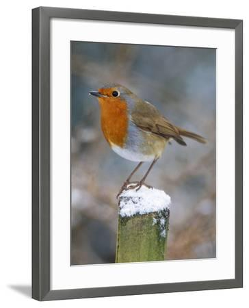 Robin on Post--Framed Photographic Print