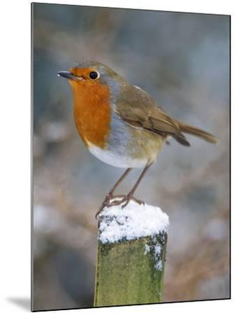 Robin on Post--Mounted Photographic Print
