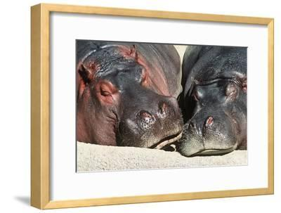 River Hippopotamus, Two Sleeping Together--Framed Photographic Print