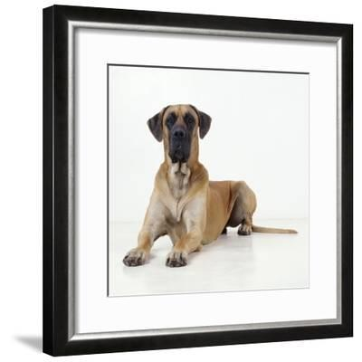 Great Dane Lying Down--Framed Photographic Print