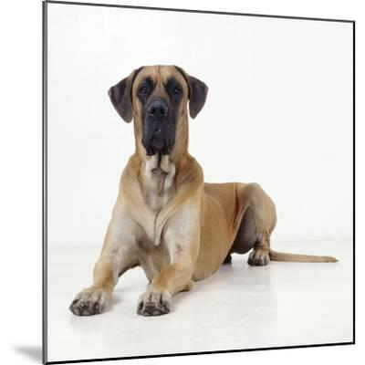 Great Dane Lying Down--Mounted Photographic Print