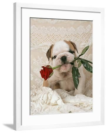 Bulldog Puppy with Rose in Mouth--Framed Photographic Print
