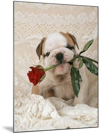 Bulldog Puppy with Rose in Mouth--Mounted Photographic Print