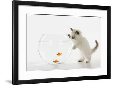 Kitten Watching Fish in Fish Bowl--Framed Photographic Print