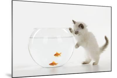 Kitten Watching Fish in Fish Bowl--Mounted Photographic Print