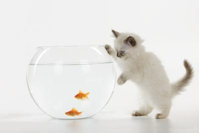 Kitten Watching Fish in Fish Bowl--Photographic Print