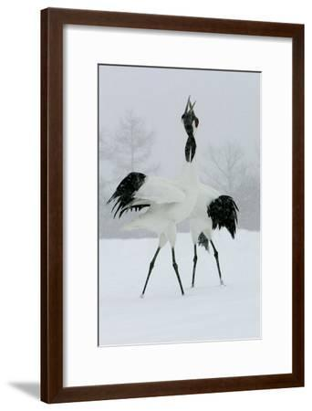 Red-Crowned Crane Pair Displaying, Necks Intertwined--Framed Photographic Print
