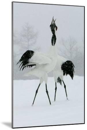 Red-Crowned Crane Pair Displaying, Necks Intertwined--Mounted Photographic Print