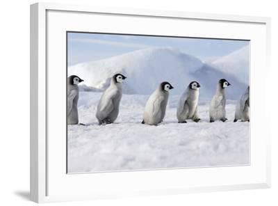 Emperor Penguins, Young Ones Walking in a Line--Framed Photographic Print