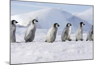 Emperor Penguins, Young Ones Walking in a Line--Mounted Photographic Print
