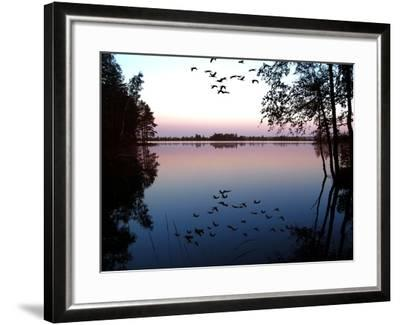 Common Crane in Flight over Lake at Sunrise--Framed Photographic Print