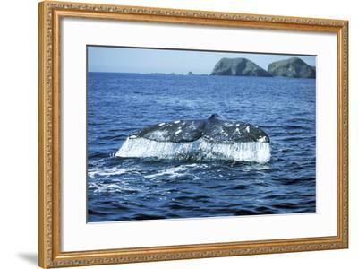 Grey Whale Tail--Framed Photographic Print