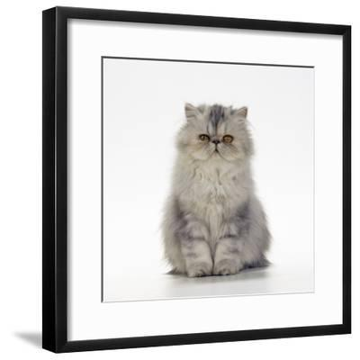 Persian Tortoiseshell Cameo Kitten--Framed Photographic Print